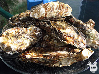 oysters from the cote vermielle